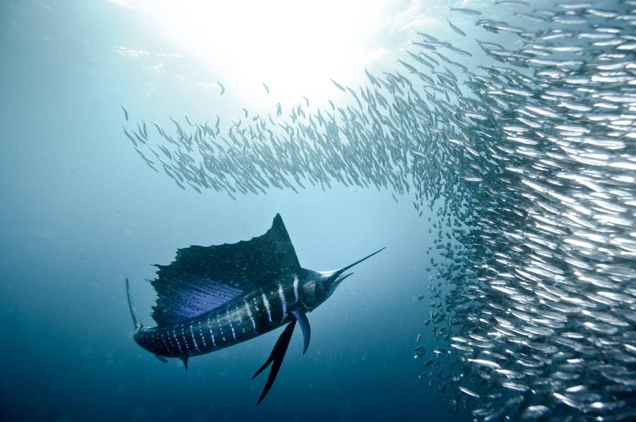 sardine-run-silly-sardines