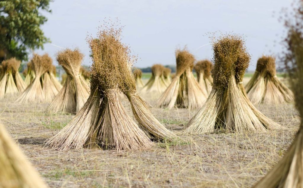 french-linen-flax-plant-sustainable